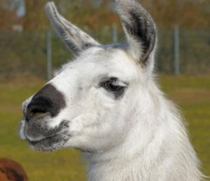 Most diet fads are as ridiculous as this llama--but this llama is awesome.