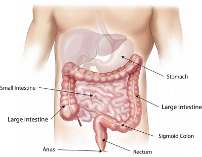 Peristalsis in the intestines