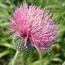 Milk Thistle is reputed to be therapeutic for the liver and kidneys.