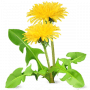 Dandelion great for digestion.