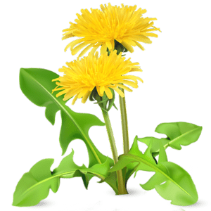 Dandelion leaf is great for your digestion.