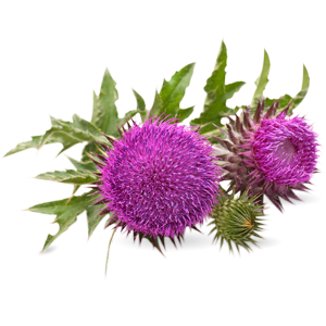 Milk Thistle potent plant targeting liver