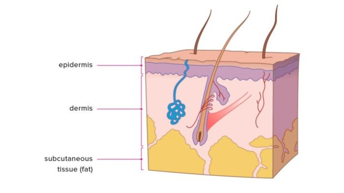 The skin is composed of three layers: epidermis, dermis, and subcutaneous tissue.