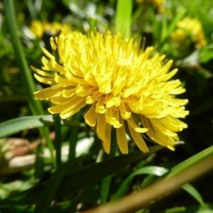 Detox Maximo contains Dandelion
